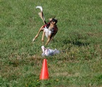 Lure Coursing - 02